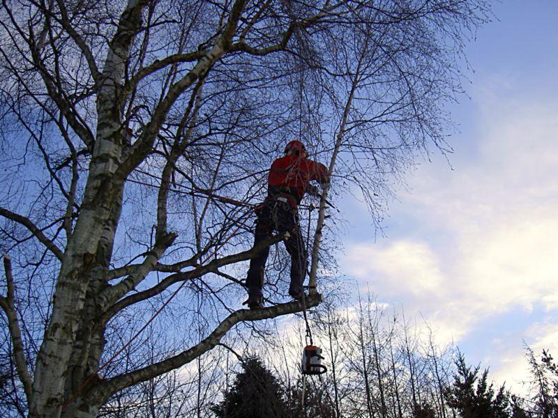 Niels fælder træ 001